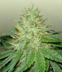 Royal Dutch Genetics SixShooter