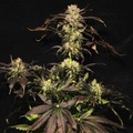 Paradise-seeds-white-berry