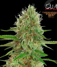 Eva Seeds Jamaican Dream