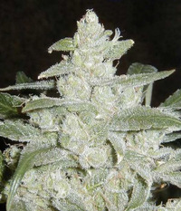 Lowlife White Widow Automatic