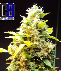 CH9 seeds Female Mixed