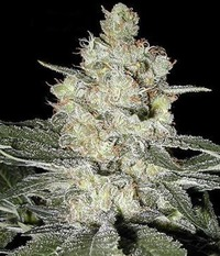 Seedsman Original Skunk #1