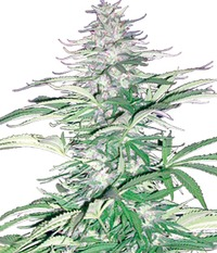 Cannabiogen Seeds Sugarloaf