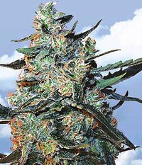 Flying Dutchmen Feminized Mix