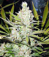 Reeferman seeds Super Silver Haze