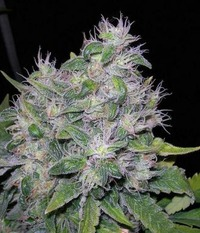 Reeferman seeds William's Wonder