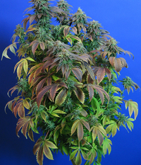 T.H.Seeds Heavy Duty fruity