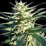 Finest-medicinal-seeds-citrus-skunk