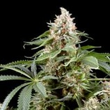 Finest-medicinal-seeds-white-rhino