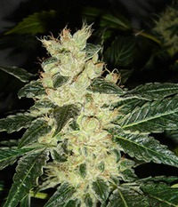 Resin seeds Sour P