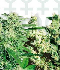 Sensi Seeds Feminized Mix