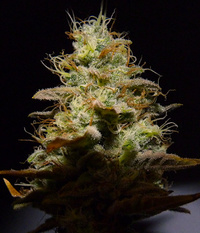 Suff Seeds ChocoDiesel