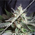 Sweet-seeds-mix-5