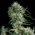 Vip-seeds-northern-delights-auto