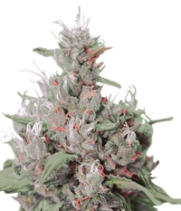 Royal Queen Seeds Royal Creamatic
