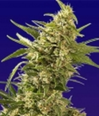 Spliff Seeds AK Automatic