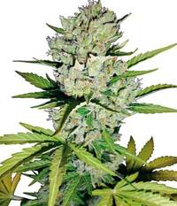 Sensi Seeds Super Skunk Automatic