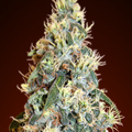 Advanced-seeds-auto-jack-herer