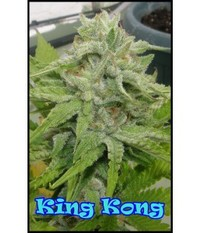 Dr. Underground  King Kong