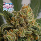 Ripper-seeds-grapegum