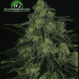 Ripper-seeds-black-valley