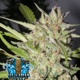 Ripper-seeds-hawaiian-wave