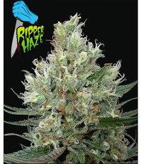 Ripper Seeds Ripper Haze
