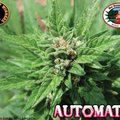 Big-buddha-seeds-automatic