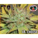 Big-buddha-seeds-l-a-cheese