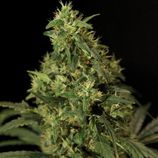 The-bulldog-seeds-northern-light