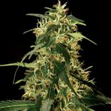 The-bulldog-seeds-silverstar-haze