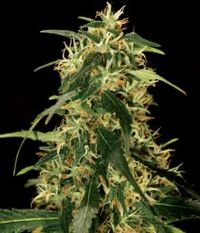 The Bulldog Seeds Silverstar Haze