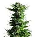 Royal-queen-seeds-shining-silver-haze
