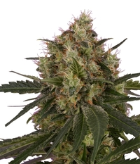 Royal Queen Seeds Ice