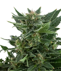 Royal Queen Seeds Royal Automatic
