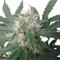 Royal-queen-seeds-royal-bluematic