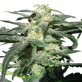 Royal-queen-seeds-royal-haze-automatic