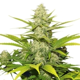 Royal-queen-seeds-skunk-1