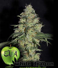 Eva Seeds White Dragon