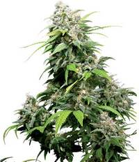 Sensi Seeds California Indica