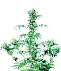 Sensi Seeds Early Girl