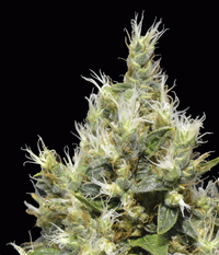 CBD Seeds Northern
