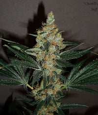 Suff Seeds Chem-D-Kush