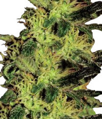 Ganja Seeds Auto Super Bud