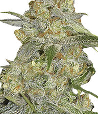 Ganja Seeds Auto Mexican Airlines
