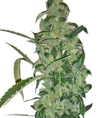 Ganja Seeds Auto Sweet Tooth