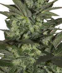 Ganja Seeds Auto Great White