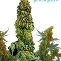 Ganja-seeds-auto-big-devil