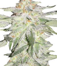 Ganja Seeds Auto Crystal METH