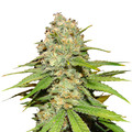 Bulk-seeds-blueberry